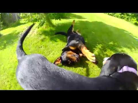 Rottweiler vs Swiss mountain dog puppy