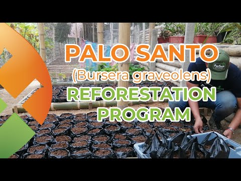 Palo Santo Wood (Bursera Graveolens) Reforestation Program: a visionary project
