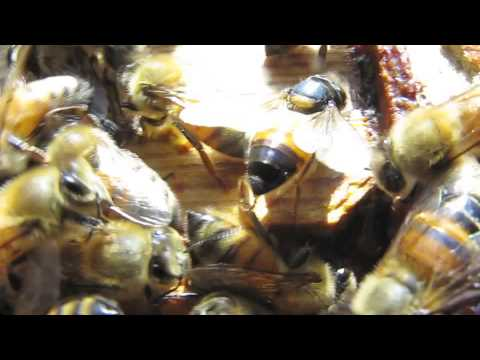 Honey bee workers with CBPV symptoms