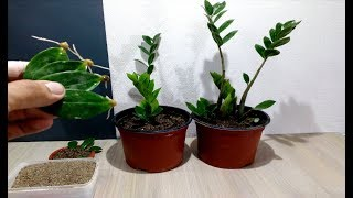 How to grow ZZ Plant from single Leaf very easy / Zanzibar Gem