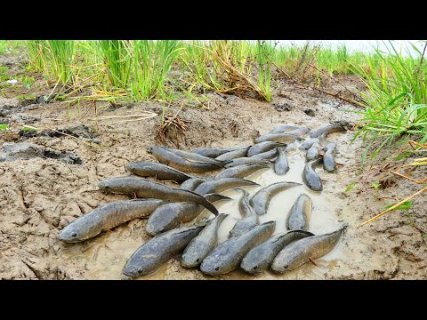 amazing fishing! A fisherman Catch fish a lot in mud little water at rice field Catch by best hand