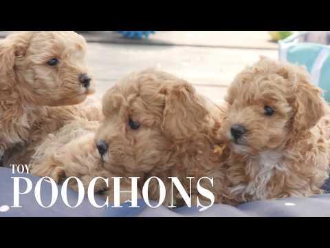 Toy Poochon Puppies #CHEVROMIST