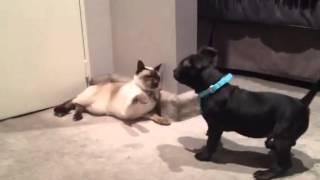 Staffordshire Bull Terrier Attacks Siamese Cat