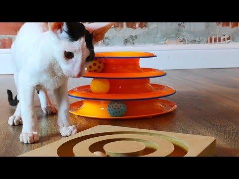 What toy will the Cornish Rex kitten choose?