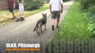 Why Little Pups Also Need Trained:-) | German Shepherd | Pittsburgh Obedience Training