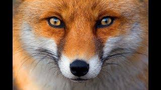Релакс,  музыка и природа. В мире животных. Лис.
