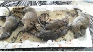 Oh, rats! Rodent infestation closes Dededo fire station