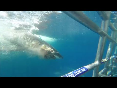 Port Lincoln Great White Shark Diving with Calypso Star II