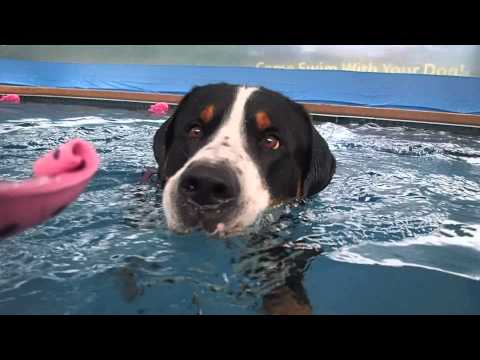 Greater Swiss Mountain Dog Gus swimming in the pool with his pink elephant toy