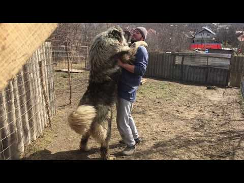 Caucasian Shepherd Dog 11 months compared to man