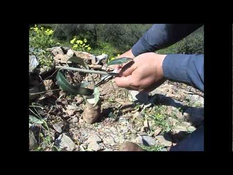Grafting olive trees - Ο Εμβολιασμός της Ελιάς