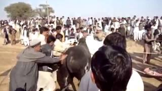 2013 Dadyal mela horse racing and bull race Manjula