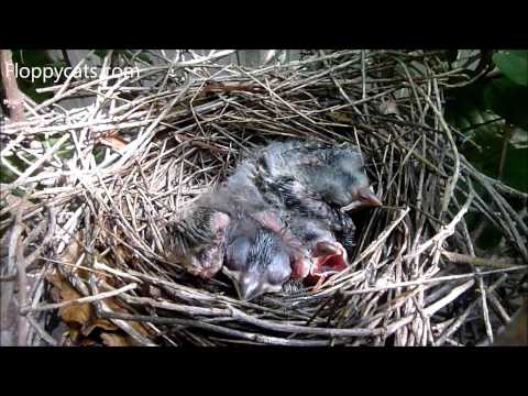 Baby Cardinal Birds in Nest and Learning to Fly - Baby Cardinal Birds Growing Up - Floppycats