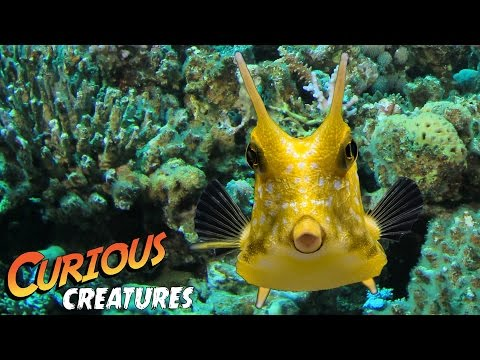 Longhorn Cowfish | Curious Creatures