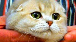 Кошки. Породы Кошек. Шотландская Вислоухая. Скоттиш фолд. Шотландская Вислоухая Кошка. Кошки Видео