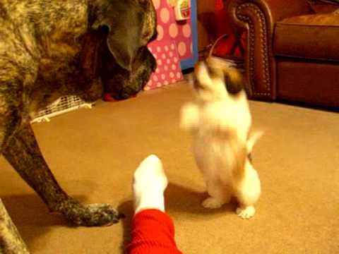 Mastiff Vs Shih Tzu Bichon Mix