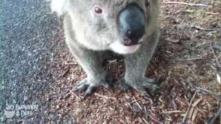 Koala Meets Cyclist