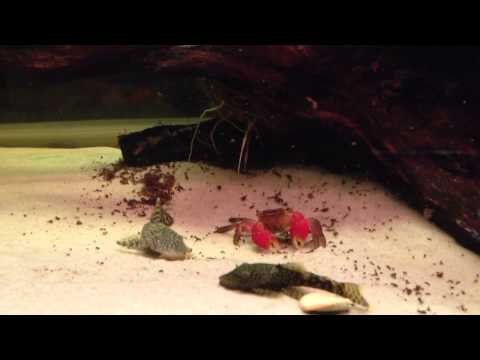 Crab Vs Bristlenose Catfish