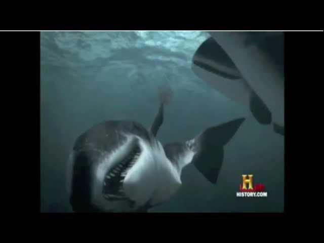 Colassal Megalodon Shark Vs Sperm whales- Clash of the Titans