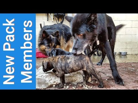 Wolves Meet The Toad Army - Bulldogge Puppies Join Their New Pack