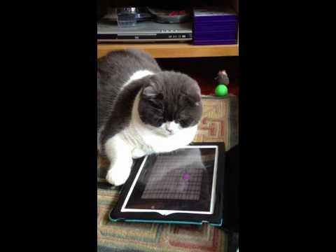 Scottish Fold 87 [Cat Toys App]