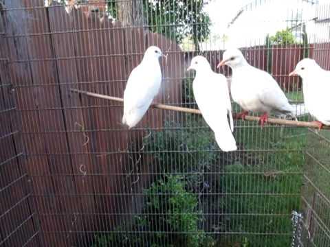 My White Doves