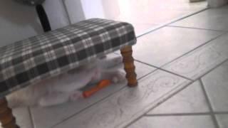 RAGDOLL : les chatons et les petits ballons - 9 semaines