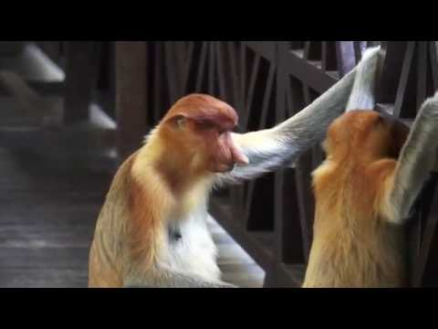 2016 Sandakan Travel Vlog - Proboscis Monkeys!