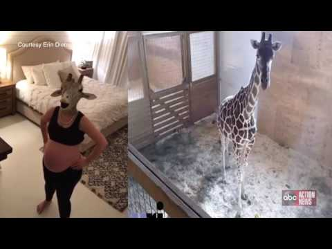 Thumbnail: Pregnant woman impersonates April the giraffe, video goes viral