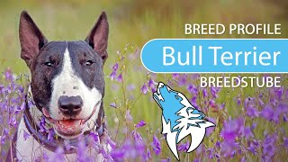 Bull Terrier [2020] Breed, Temperament & Training
