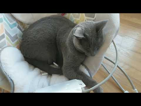 It's nap time for Russian Blue and Burmese cats Lena and Matilda