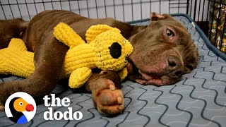 Scared Pittie Wouldn't Leave The Plum Box He Was Found In | The Dodo Pittie Nation