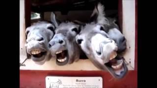 Новинка -2016. Смешные животные -ослы смеются