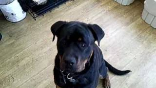 Rottweiler Barking For Me