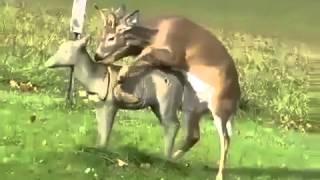 Deer Mating with Fake Deer ~ Funny Animal FailHD
