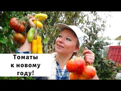 Бомбические томаты от Аэлиты!