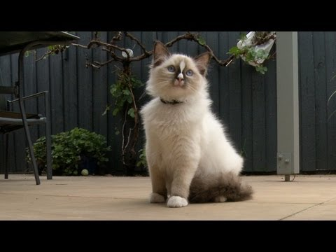 "Ragdoll Kitten Harness Training Day 3 ""Flop & Drop"" -- ラグドール - PoathTV Floppy Ragdoll Cat"