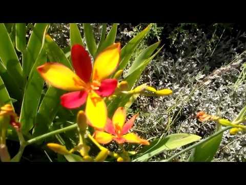 Цветы Беламканда