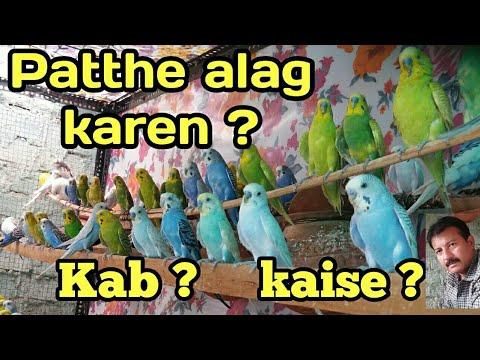 Australian parrots ke patthon ko aise alag karen