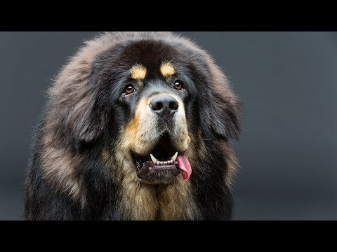 TIBETAN MASTIFF! THE MOST EXPENSIVE DOG BREED IN THE WORLD