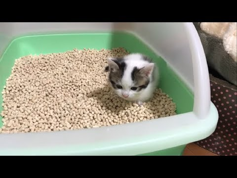 鳴きながらトイレをする子猫がかわいい   My cute kittens cry out while they use their litter box.