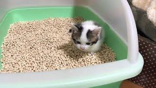 鳴きながらトイレをする子猫がかわいい thumbnail
