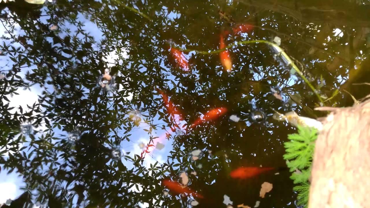 Laghetto pesci rossi carpe koi pesci gatto piante for Riproduzione pesci rossi in laghetto