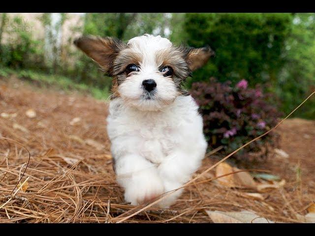 Кавашон (Cavachon). Породы собак (Dog Breed)