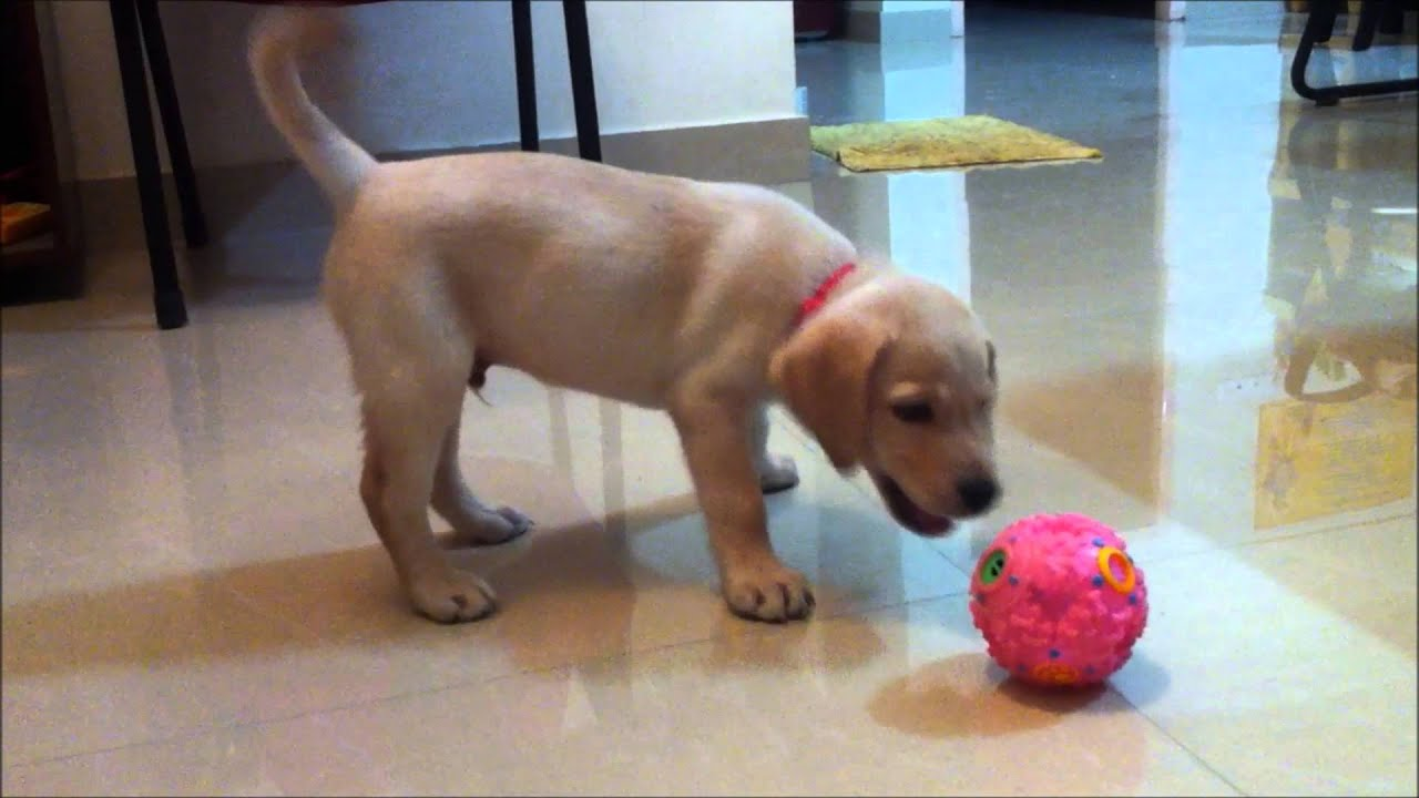 Sandy Two months old labrador Puppy playing ball