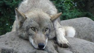 【旭山動物園】オオカミの遠吠え2016夏&ワンと吠える