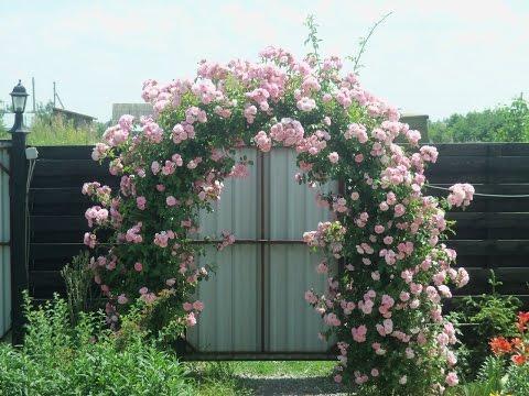 Немного о плетистой розе