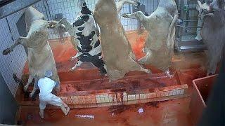 Avrupa 39 daki kesimhanelerde hayvanlara eziyet mi ediliyor