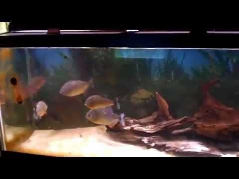 ปิรันย่ากินปลาดุก!