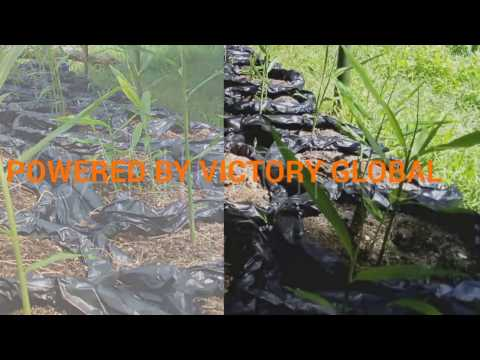 ORGANIC GINGER IN GROWING BAG USING FULL HARVEST PRODUCT OF VICTORY GLOBAL